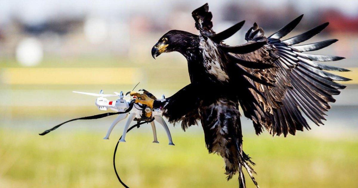 Aux Pays-Bas, des aigles dressés pour neutraliser les drones