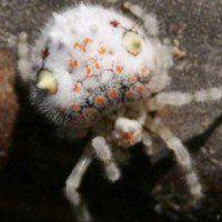 Une araignée sushi a été découverte en Australie