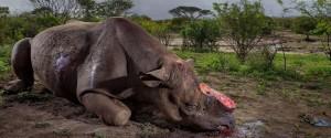 L'attaque des braconniers contre les rhinocéros est en...