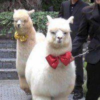 Au Japon, un hôtel insolite vous propose d'avoir un lama comme témoin de mariage !