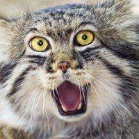 Des saucisses empoisonnés à destination des chats sauvages en Australie