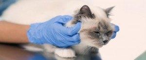 Covid-19 : la découverte d'un chat infecté près de...