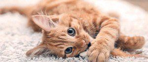 Le chat roux : Toutes les particularités de cette race...