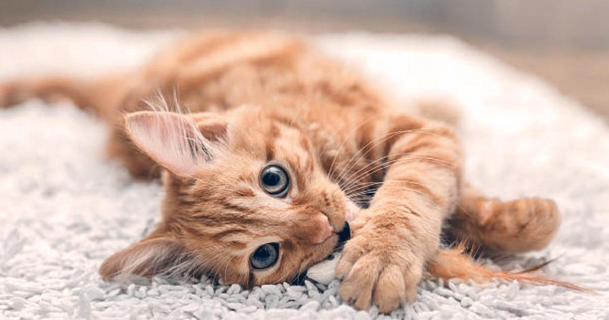 Le chat roux : Toutes les particularités de cette race de chat