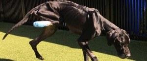Avant d'être secouru ce chien affamé a mangé sa patte...