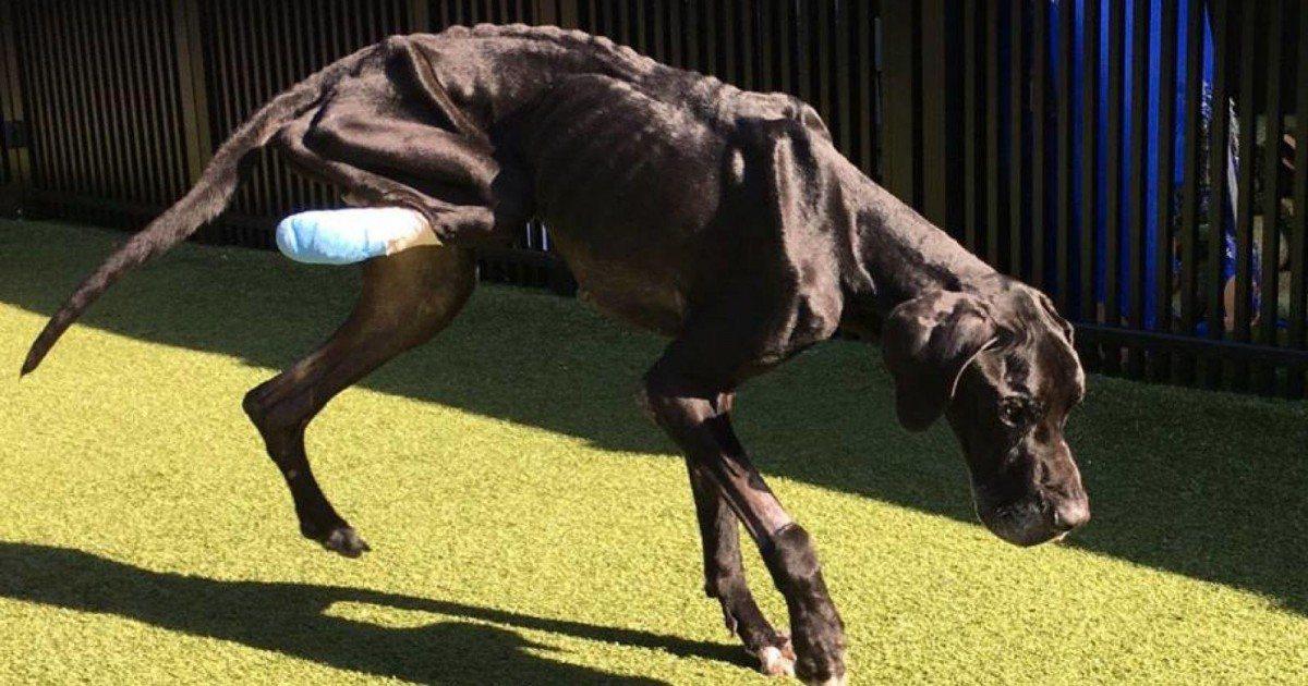 Avant d'être secouru ce chien affamé a mangé sa patte pour survivre