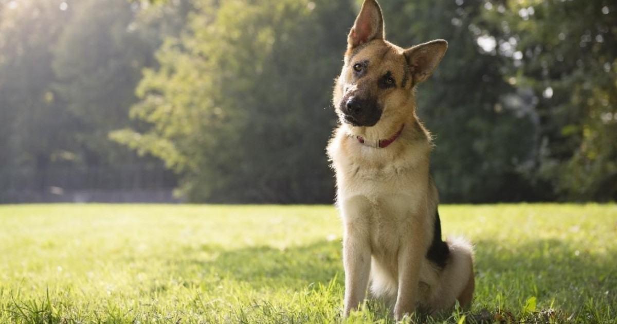 Savez-vous pourquoi les chiens penchent la tête quand vous leur parlez ?