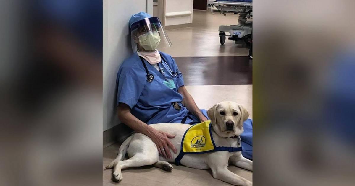 Les chiens de thérapie apportent du réconfort dans les hôpitaux