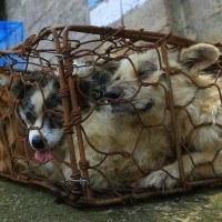 9 chiens sauvés des griffes d'un abattoir canin en Chine !