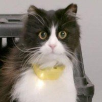 Un collier pour chat traduit les miaulements de votre chat en paroles humaines