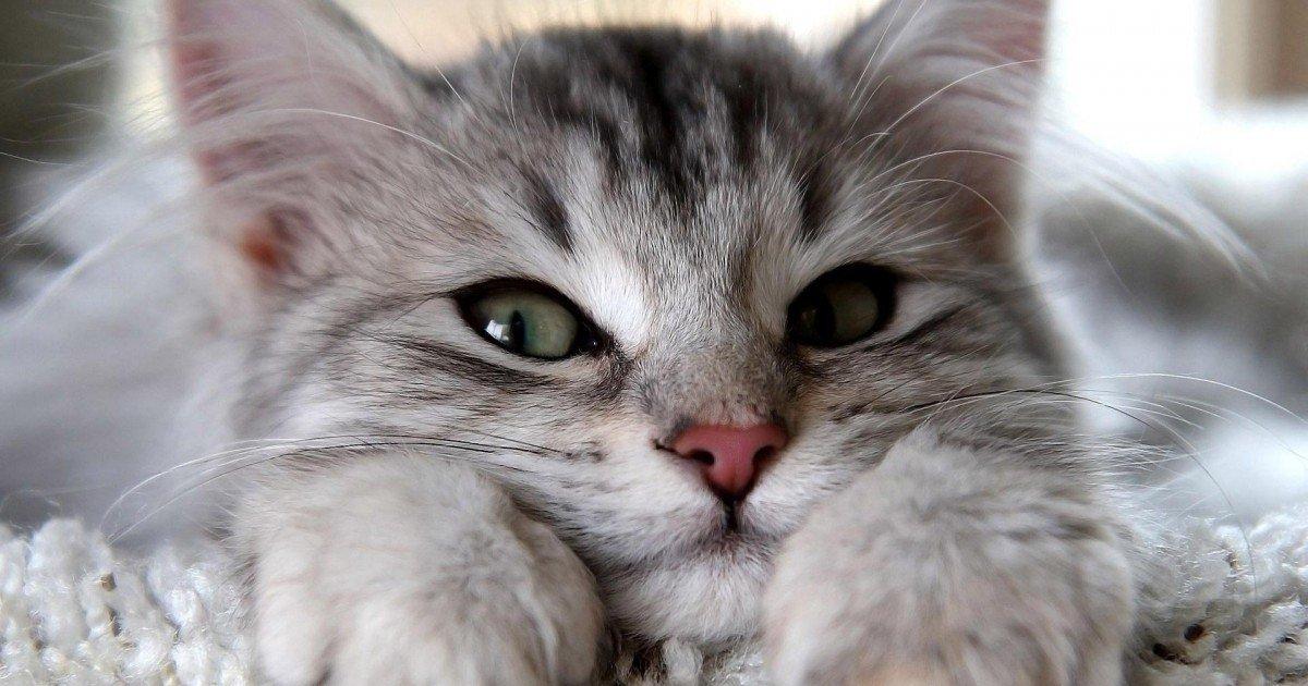 Comment faire pour bien choisir la race de son chat