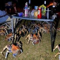 Crabes géants