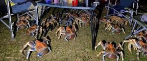 Attirés par le barbecue des crabes géants ont...
