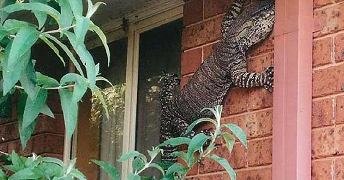 Il découvre un varan d'1,5 mètre accroché au mur de sa maison