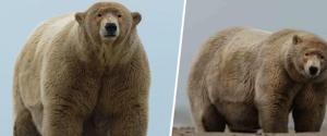 Baptisé « Fat Albert » cet ours polaire est en...