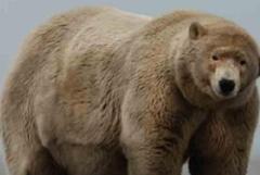 Baptisé « Fat Albert » cet ours polaire est en surpoids de 190 kilos