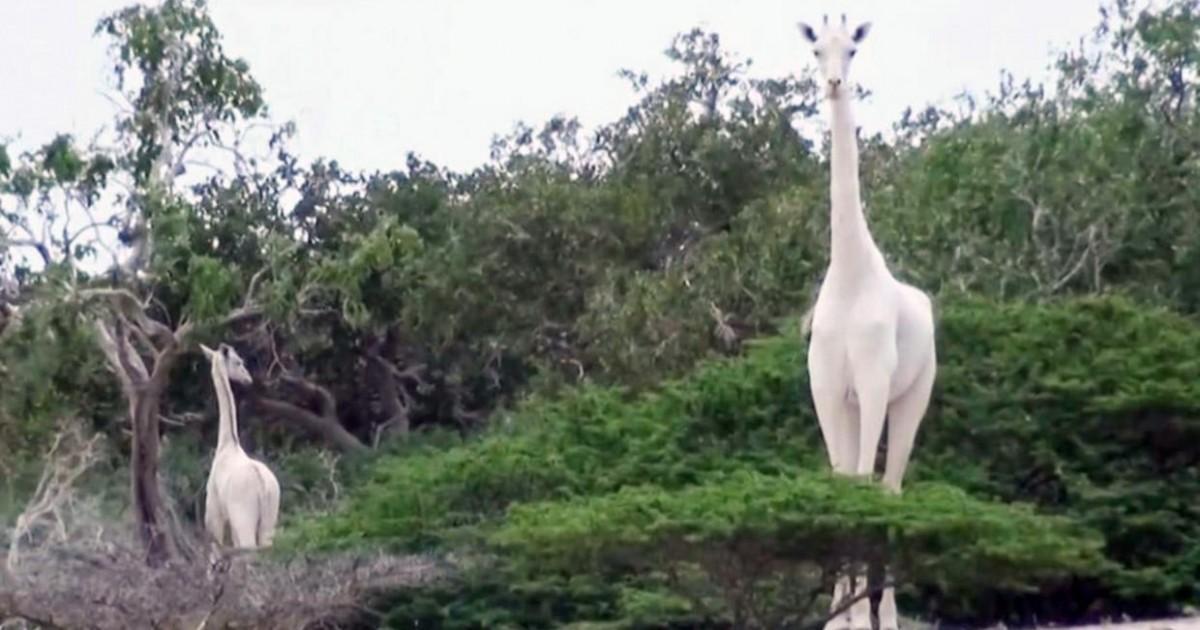 L'unique girafe blanche femelle au monde a été abattue par des...