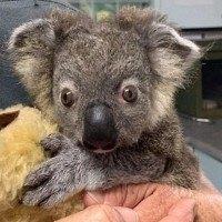 Incendies en Australie - Un petit koala gravement brûlé va retrouver sa maison