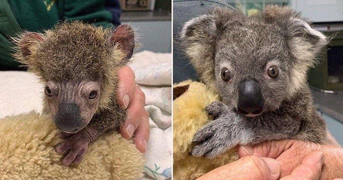 Incendies en Australie - Un petit koala gravement brûlé va retrouver sa...