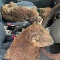 Une vingtaine de koalas sont sauvés des incendies par deux australiens