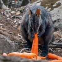 L'opération Rock Wallaby fait pleuvoir de la nourriture sur les animaux blessés par les incendies en Australie