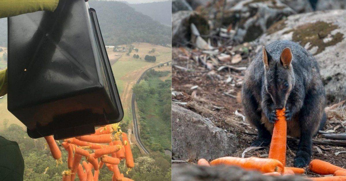 L'opération Rock Wallaby fait pleuvoir de la nourriture sur les animaux...