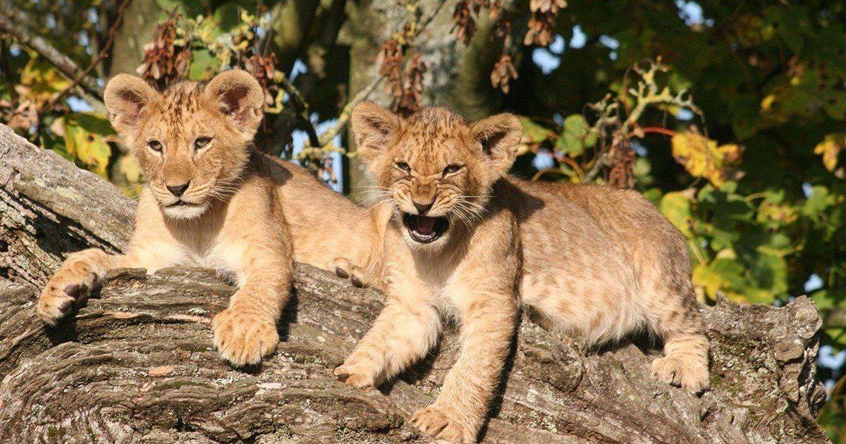 Les lionceaux de Cecil, adoptés par leur oncle, se portent bien !
