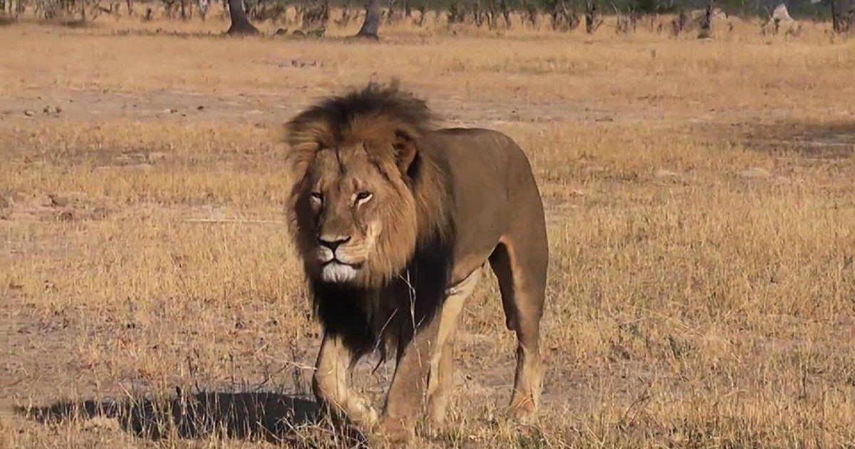 En mémoire du lion Cecil assassiné, il réalise un superbe portrait !