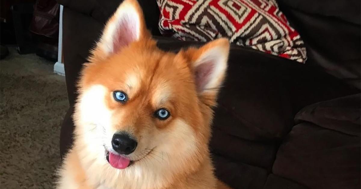Voici Mia, le pomsky, croisement entre un spitz poméranian et un husky