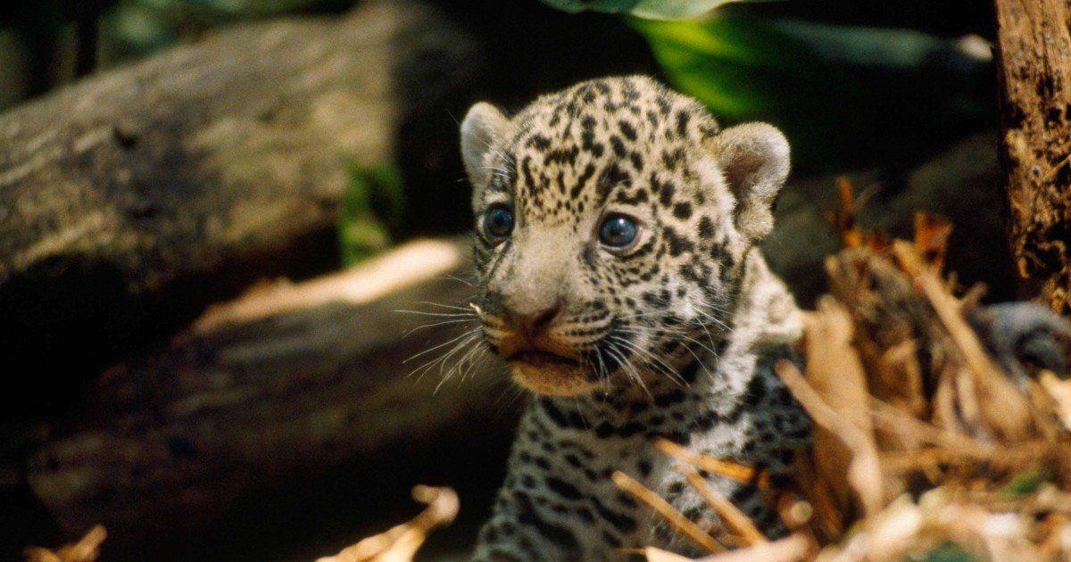 Bébés jaguars