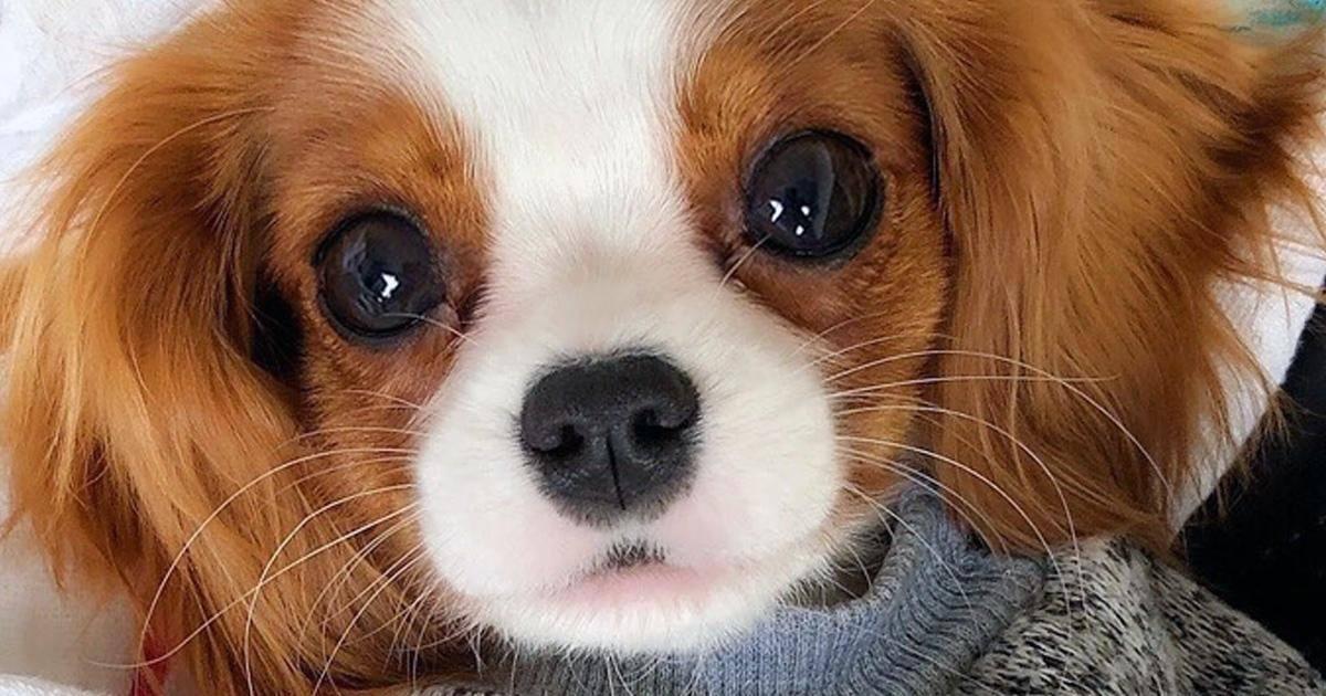Nessa un Cavalier King Charle est le plus adorable et petit chien au monde