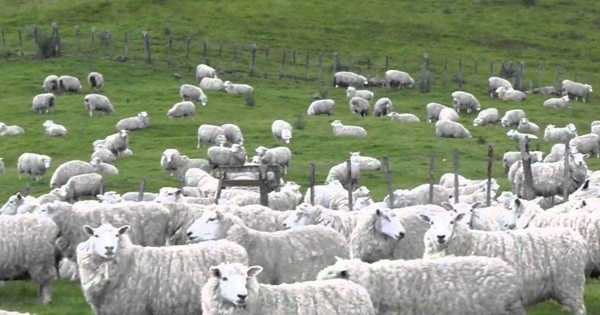 Nouvelle-Zélande : des fuyards arrêtés par un troupeau de moutons
