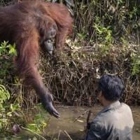 Un orang-outan veut sauver un écologiste en danger dans une rivière