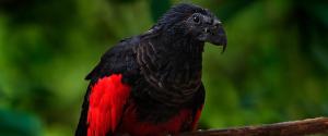 Un perroquet originaire de Nouvelle-Guinée, surnommé...