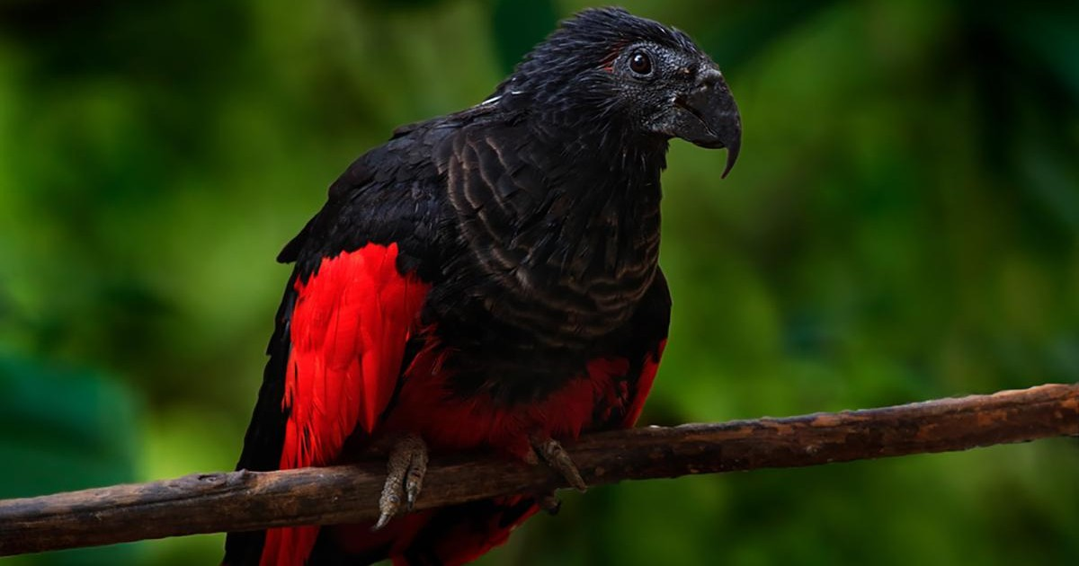Un perroquet originaire de Nouvelle-Guinée, surnommé «Dracula»