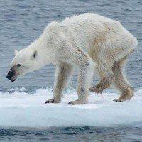 La photo d'un ours polaire amaigri choque les internautes