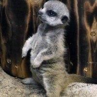 Les photos de ce bébé suricate qui fait ses premiers pas vont vous faire craquer
