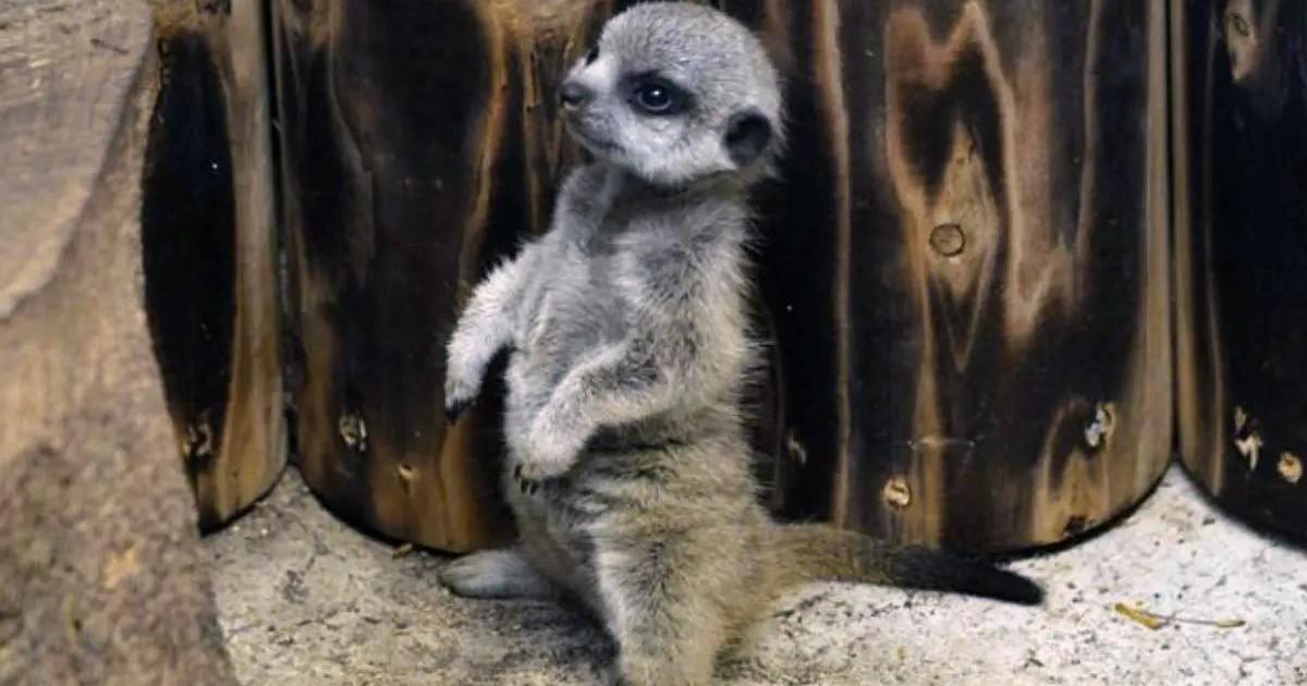 Les photos de ce suricate qui fait ses premiers pas vont vous faire craquer