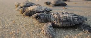 Une plage indienne envahie par des milliers de tortues...
