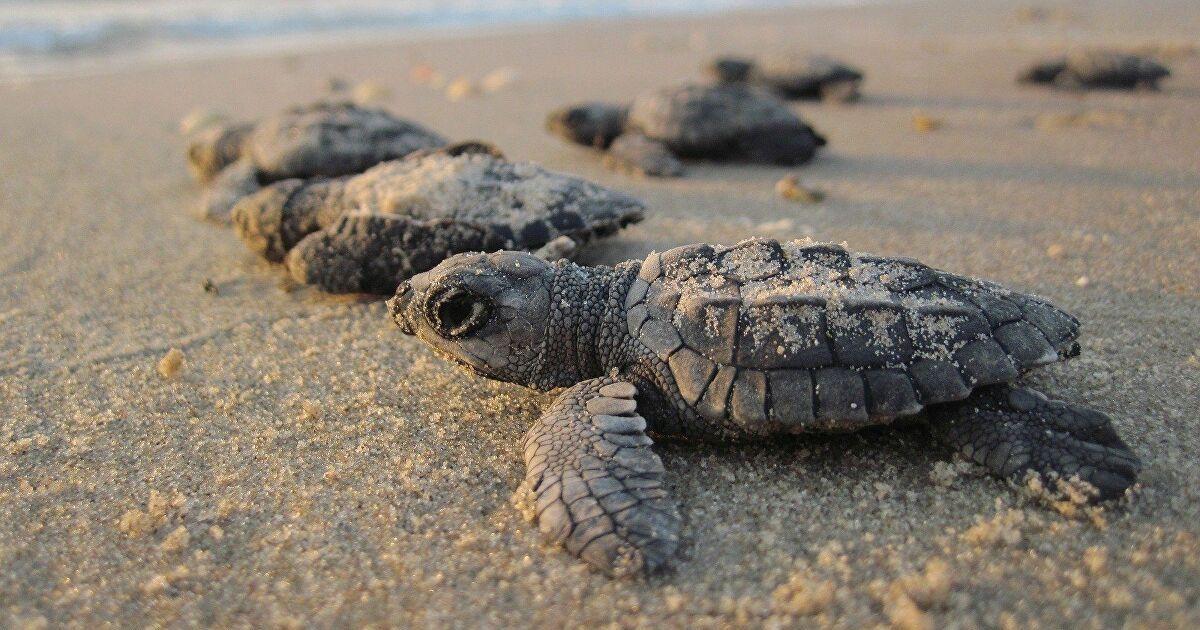 Une plage indienne envahie par des milliers de tortues venues pondre