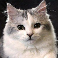 Un chat de la race Ragamuffin est le compagnon de vie parfait
