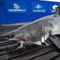 Un requin blanc se fait attaquer par un prédateur encore plus gros