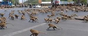 Sans touristes, les singes sont à la recherche de...