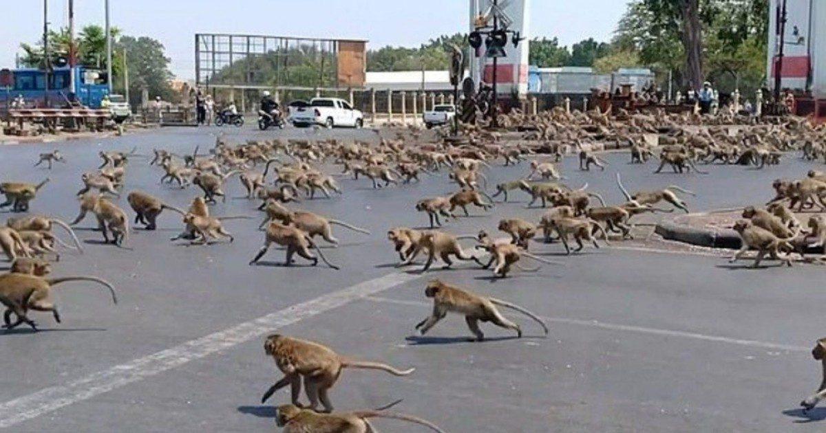 Sans touristes, les singes sont à la recherche de nourriture