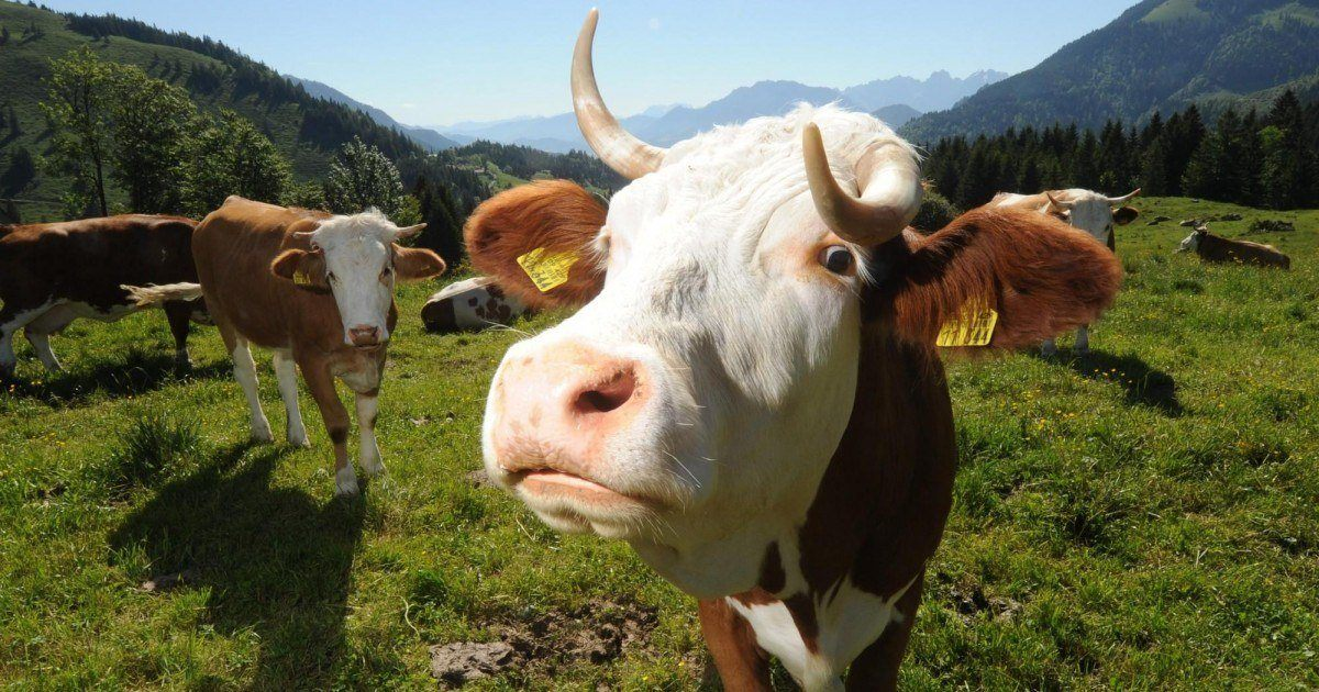 Un nouveau site de rencontre exclusivement fait pour les vaches