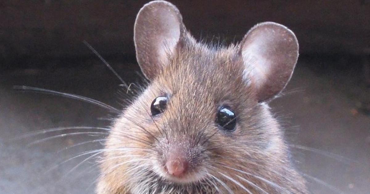 Une souris dressée pour livrer de la drogue aux prisonniers au Brésil