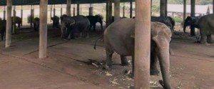 En Thaïlande, les éléphants à touristes luttent pour...