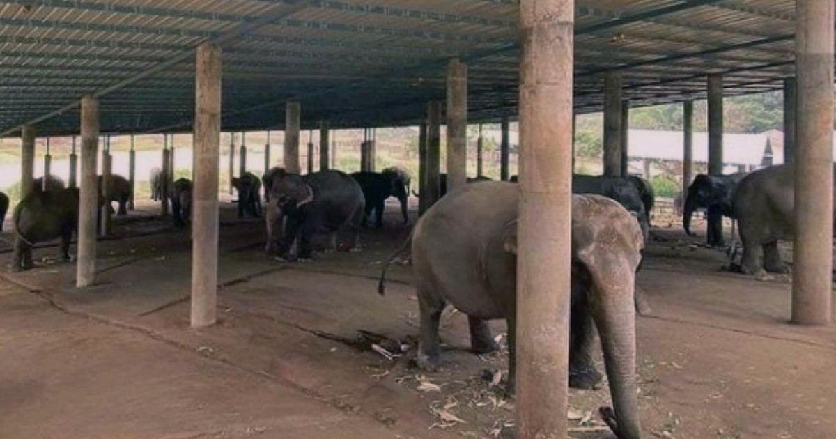 En Thaïlande, les éléphants à touristes luttent pour pas mourir de faim