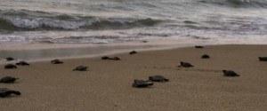 Des tortues de mer sont nées sur une plage déserte du...