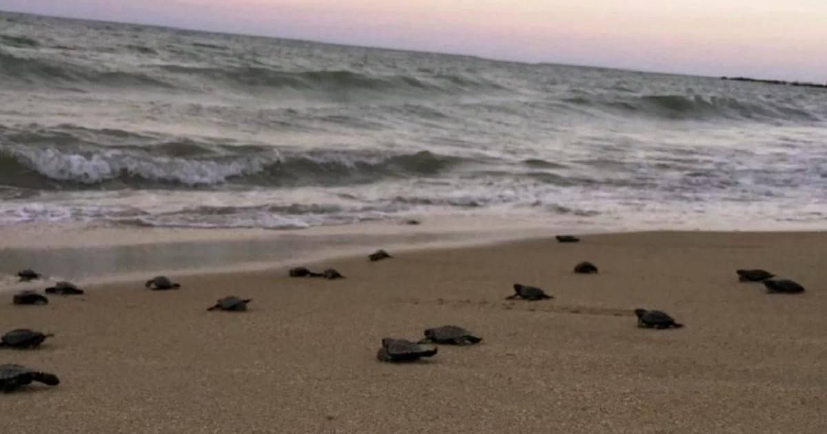 Des tortues de mer sont nées sur une plage déserte du Brésil